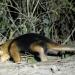 Unter Raubkatzen und Ameisenbären
