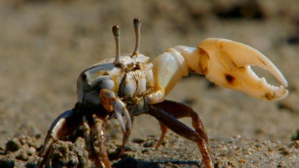 Bild 1 von 3: Männliche Winkerkrabben versuchen mit ihrer großen Schere Weibchen zu imponieren.