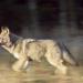 Exakt - Die Story: Wölfe - Schützen oder schießen?