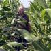 Der Mais-Wahn