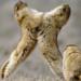 Bilder zur Sendung: Die Murmeltiere von Kasachstan