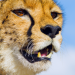 Die fünf Geparde - Gemeinsam durch die Serengeti