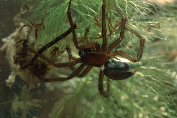 Bild 1 von 3: Wasserspinnen können sich Luftnester bauen, aus denen heraus sie unter Wasser auf die Jagd gehen.
