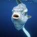 Mondfische - Rätselhafte Giganten