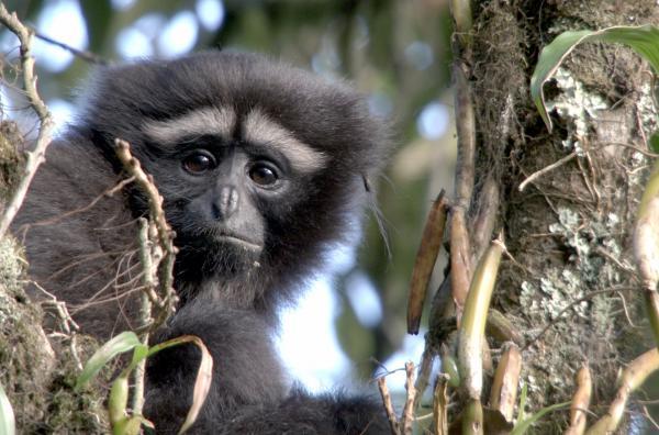 Bild 1 von 5: Ein fünf Jahre altes Skywalker-Gibbonjunges ist immer noch auf seine Mutter und deren Fürsorge angewiesen.