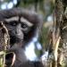 Das Lied der Gibbons