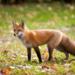 Bilder zur Sendung: Wunder der Tierwelt - F�chse