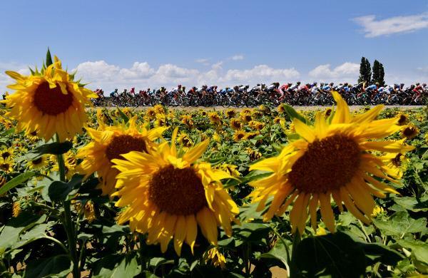 Bild 1 von 1: Sonnenblumen