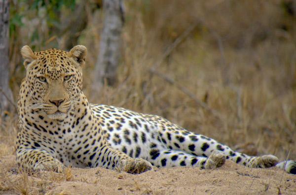 Bild 1 von 4: Einer der zwei Leoparden, die von dem Kamerateam ein Jahr lang gefilmt wurden