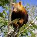 Papua-Neuguinea: Baumkängurus im roten Bereich