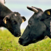 Kuh im Glück