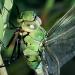 Bilder zur Sendung: Libellen - Die Himmelsjäger