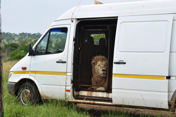 Bild 1 von 5: In einer aufwendigen Umsiedlungsaktion bringt Kevin Richardson Löwen zurück in freie Wildbahn - die mächtigen Tiere dürfen sich auf ihre neue Heimat im Naturschutzgebiet Dinokeng in Südafrika freuen.