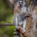 Madagaskar - Bandenkrieg der Lemuren