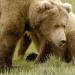 Grizzlys hautnah