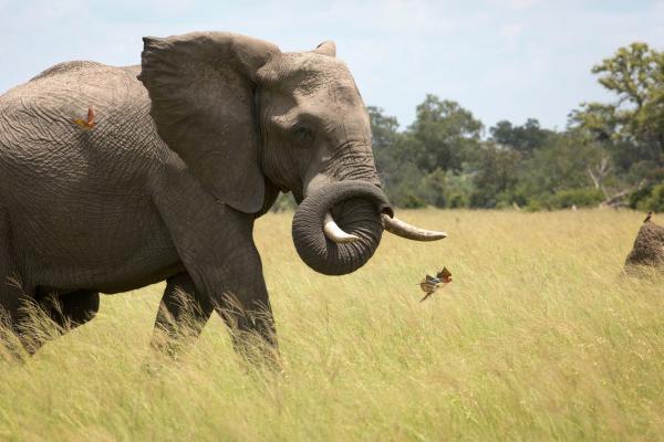 Bild 1 von 15: Ein afrikanischer Elefantenbulle im Grasland Botswanas. Seine ständigen Begleiter sind die südlichen Karminspinte. Sie schnappen sich die von den Dickhäutern aufgescheuchten Insekten.