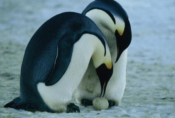 Bild 1 von 4: Die Dokumentation zeigt die beschwerliche Lebenssituation der Kaiserpinguine in der Antarktis, insbesondere auf den langen Wanderungen zu ihren Brutstätten.