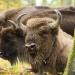 Abenteuer Erde: Im Land der wilden Riesen - Wisente in NRW