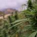Millionengeschäft Cannabis Marokkos illegaler Exportschlager