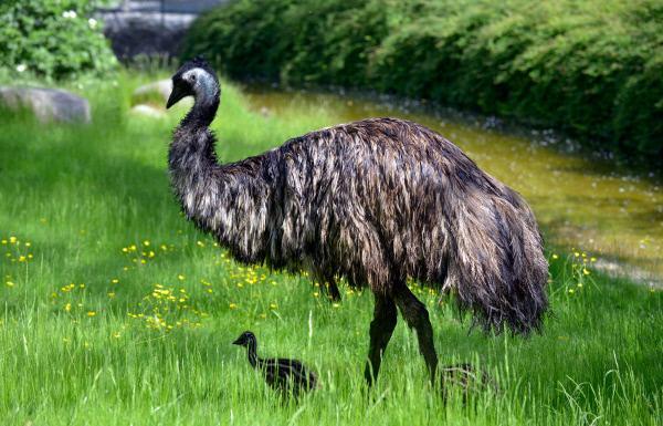 Bild 1 von 1: Emu mit Küken im Zoo Berlin.
