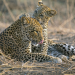 Olimba, Königin der Leoparden