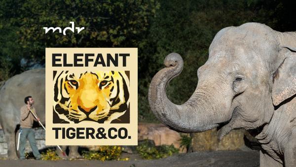 Bild 1 von 3: Elefant, Tiger & Co.-Logo - und zwei Elefanten und ein Tierpfleger im Leipziger Zoo