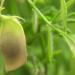 Linsen - Das Rezept gegen den Welthunger
