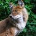 Dhole - der b�se rote Hund