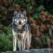 Takaya, der einsame Wolf