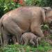 Borneos Zwergelefanten