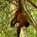 Affenalltag am Amazonas