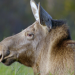 Erlebnis Erde: Die Elche von Matsalu - Estlands wilde Riesen
