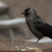 Rabenvögel - Gaukler der Lüfte