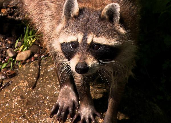Bild 1 von 3: Heimlich wie Zorro?: Der nordamerikanische Waschbär ist aus Gehegen ausgebüxt und breitet sich in Europa aus. Eine putzige Bereicherung unserer Fauna oder ein gefährlicher Nesträuber?