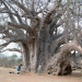 Baobab - Gigant der Savanne