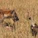 Die Hyänen vom Mara Fluß