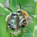 Biene Majas wilde Schwestern