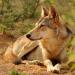 Indiens wilde Wölfe