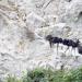 China: Das Königreich der Weißkopflanguren