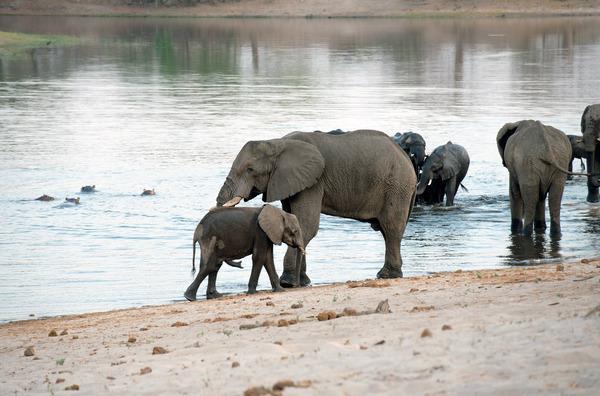 Bild 1 von 5: Elefanten sind die schwergewichtigen Stars Namibias.