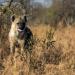 Im Angesicht des Raubtiers - Unter Hyänen