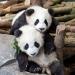 Pit und Paule - die Pandajungen von Berlin