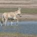 Indiens wilde Esel