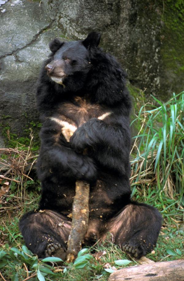 Bild 1 von 12: Asiatischer Schwarzbär.