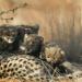 Geparde in der Kalahri