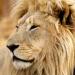 Lionsrock - Die Heimkehr des Königs