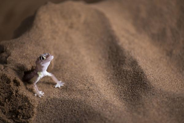 Bild 1 von 15: Ein Namibgecko in der Wüste Namibias. Spannhäute zwischen den Zehen helfen ihm, auf lockerem Sand zu laufen, ohne einzusinken.