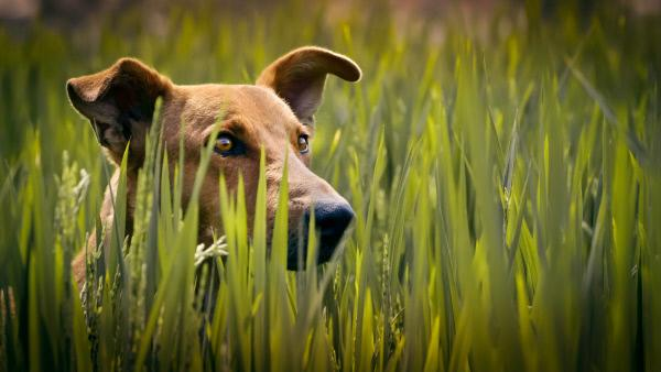 Bild 1 von 13: Hunde waren ein wichtiger Faktor bei der Sesshaftwerdung des Menschen. Indem sie Pflanzenfresser von den Feldern vertrieben, sicherten sie die Nahrungsgrundlage der Bauern. Der indische Pariahund beispielsweise beschützt die Felder seines Herrchens vor den Übergriffen der Makakentrupps.