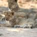 Sambia - Im Reich der Löwen