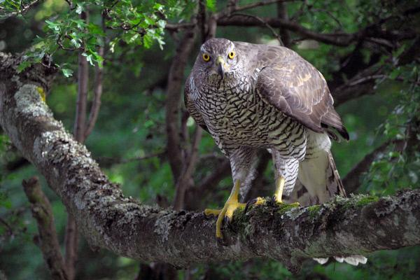 Bild 1 von 2: Im Forest of Dean, einem historischen Waldgebiet im Westen von England, leben Habichte. Die Raubvögel sind bekannt dafür, Menschen zu attackieren, deren Anwesenheit besonders in der Brutzeit als Gefahr für den Nachwuchs betrachtet wird.